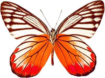 butterfly with orange and red coloring