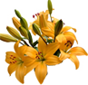 lilies gold