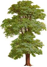 Free Tree Clipart - Tree Graphics